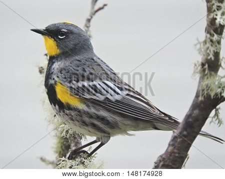 Audubon's warbler perched in lichen covered branches
