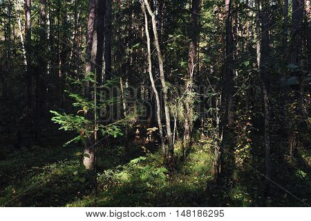Landscape. Trees in the taiga forest шт beginning of autumn.