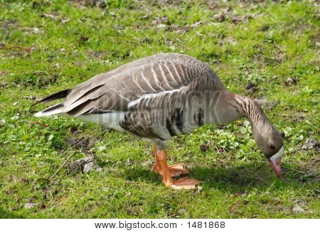 Bean Goose Anser Fabalis