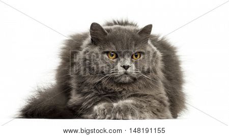 front view of a British Longhair cat lying down isolated on white