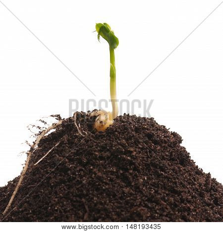 Sprouted yellow pea on organic soil with young plant over white background