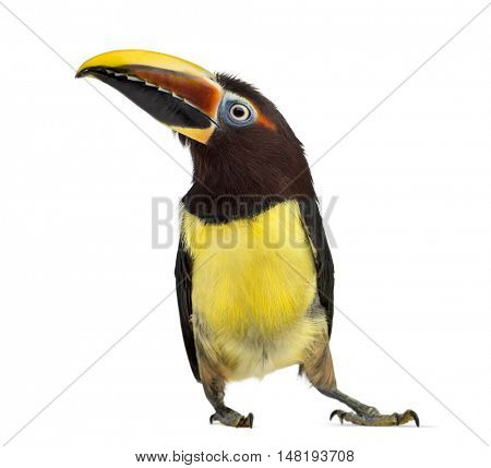 Green aracari, Pterogossus Viridis isolated on white
