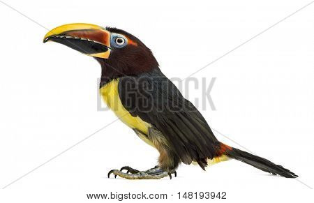 Side view of a Green aracari, Pterogossus Viridis looking up isolated on white