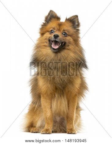 German Spitz dog sitting and panting isolated on white