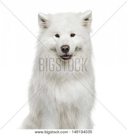 Close-up of Samoyed, 6 years old, isolated on white