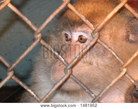 Labratory Caged Monkey