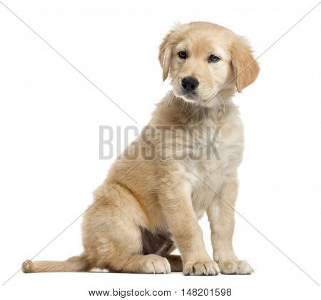 Cross-breed Labrador puppy, 2 months old, sitting and looking away from camera, isolated on white
