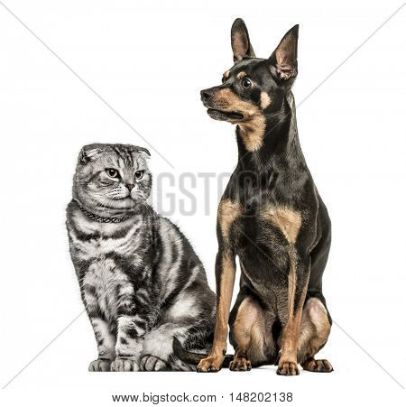 Scottish Fold and German Pinscher sitting together, isolated on white