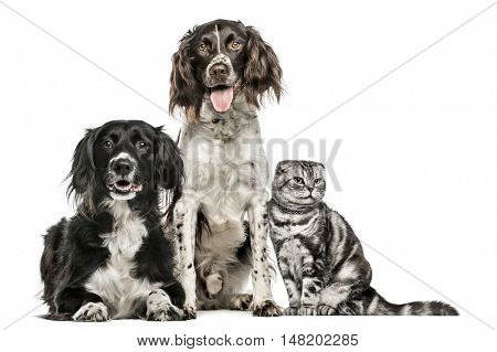 Group of two dogs and a cat; Mixed-breed dog, 10 years old, M�¼nsterlander, 4.5 years old, and a Scottish Fold, isolated on white