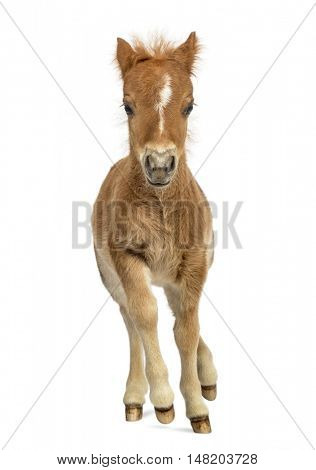Front view of a young poney, foal trotting against white background