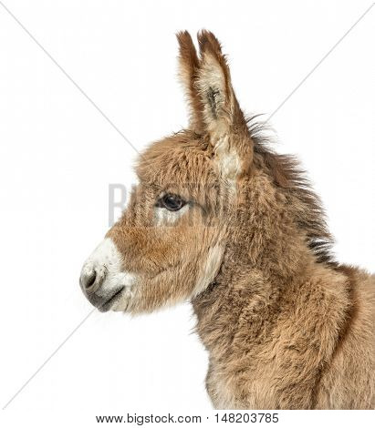 Close-up of a Young Provence donkey, foal isolated on white