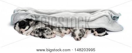 Group of crossbreed puppies sleeping in a row isolated in a towel isolated on white