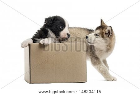 Side view of crossbreed and malamute puppies playing with a box isolated on white