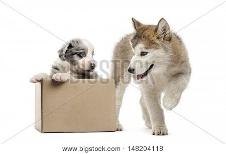 Crossbreed and malamute puppies playing with a box isolated on white