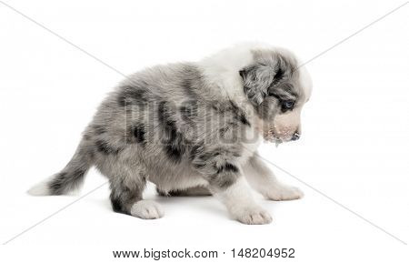 Side view of a crossbreed puppy isolated on white