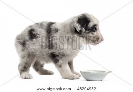 Side view of a crossbreed puppy drinking isolated on white