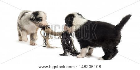 Two crossbreed puppies playing with a rope isolated on white