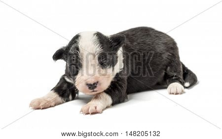 8 days old crossbreed puppy isolated on white
