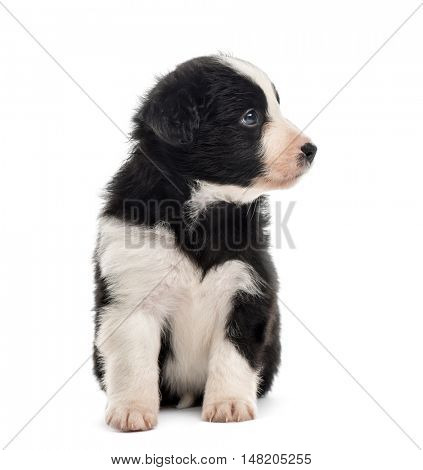 Front view of a crossbreed puppy sitting and looking away isolated on white