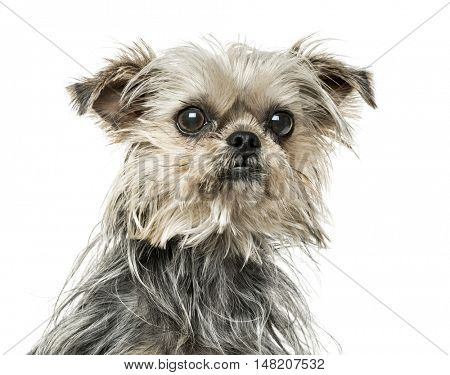 Close-up of Cross-breed dog, 18 months old, isolated on white