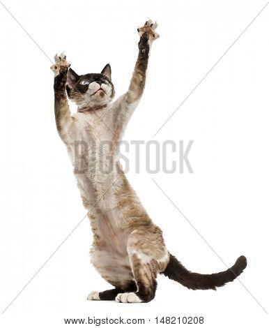 Devon rex playing on hind legs isolated on white