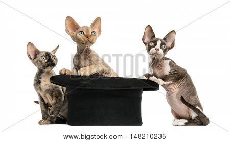 Group of Devon rex kittens getting out of a hat isolated on white