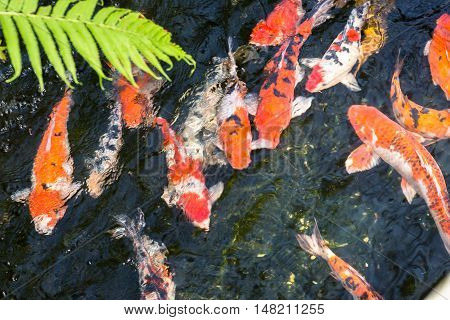 Koi fish in a pond swimming gracefully