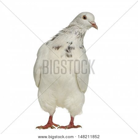 Front view Texan pigeon questioning isolated on white