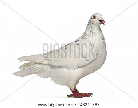 Side view of a Texan pigeon cooing isolated on white