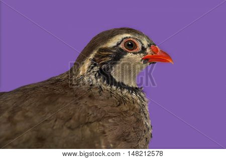 Close-up of a side view of Red-legged partridge, Alectoris rufa against purple background