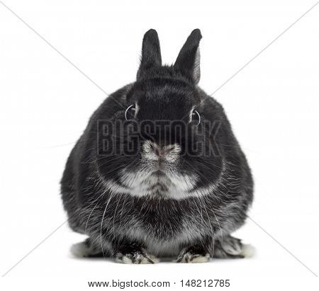 Lop rabbit facing isolated on white