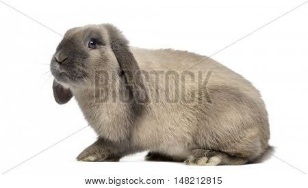 Side view of Holland Lop rabbit isolated on white