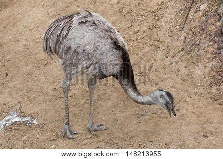 Darwin's rhea (Rhea pennata), also known as the lesser rhea. Wildlife animal.