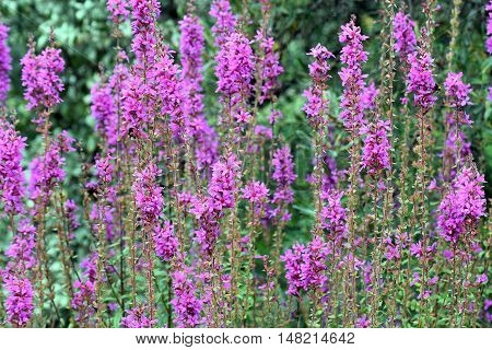 Flowering purple loosestrife plant (Lythrum Salicaria). Beautiful flowers on a field.