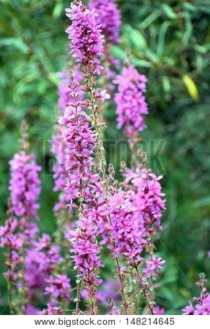 Closeup of Flowering purple loosestrife plant (Lythrum Salicaria).