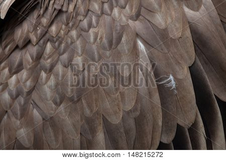 Griffon vulture (Gyps fulvus). Plumage texture. Wildlife animal.