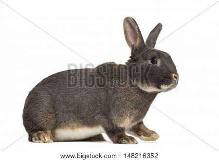 Side view of Perle rabbit isolated on white
