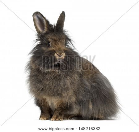 Side view of Mini Lop Rabbit isolated on white