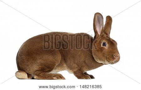 Side view of Rex rabbit isolated on white