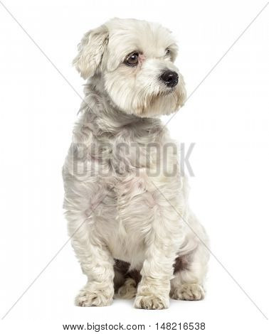 Bichon maltese dog sitting and looking away isolated on white