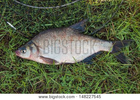Single Common Bream Fish Fish On Green Grass. Catching Freshwater Fish And Fishing Net.