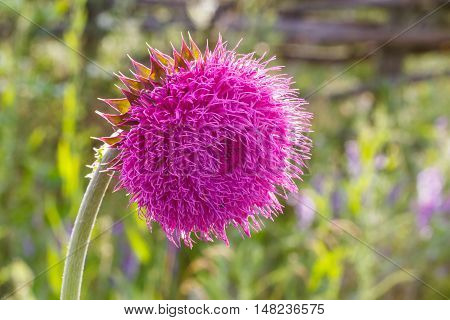 Thistle Flower in Bloom in the field. Backlight. Shallow depth of field. Milk Thistle plant (Silybum marianum) herbal remedy. Scotch thistle Cardus marianus Blessed milk thistle Marian Thistle