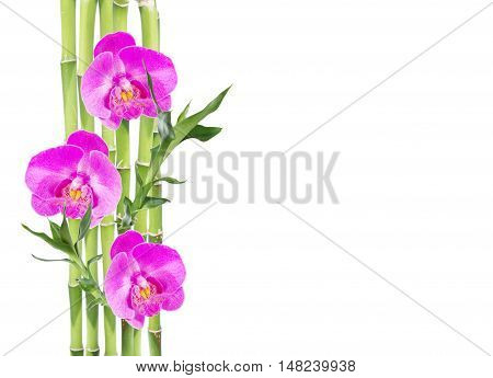 Several stem of Lucky Bamboo (Dracaena Sanderiana) with green leaves and three pink orchid flowers isolated on white background with copy-space