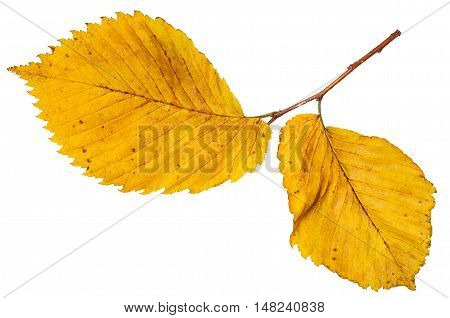 Twig With Yellow Autumn Leaves Of Elm Tree