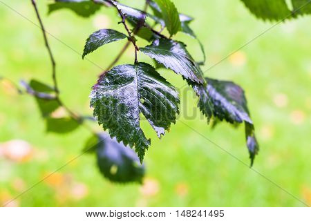 Rain Drops On Green Leaves Of Elm Tree In Autumn