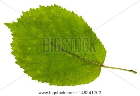 Green Leaf Of Ash-leaved Maple Tree Isolated