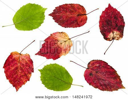 Set From Red And Green Leaves Of Maple Ash Tree