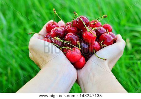 Girls hands full of ripe cherries on the nature background