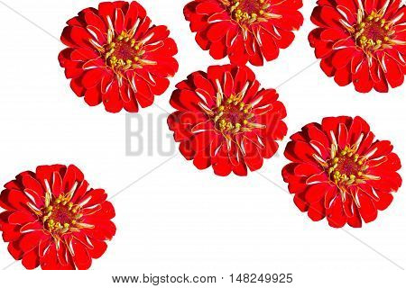 Six red gerber on a white background