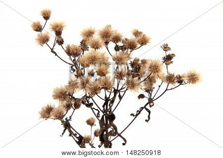Dried Wildflower